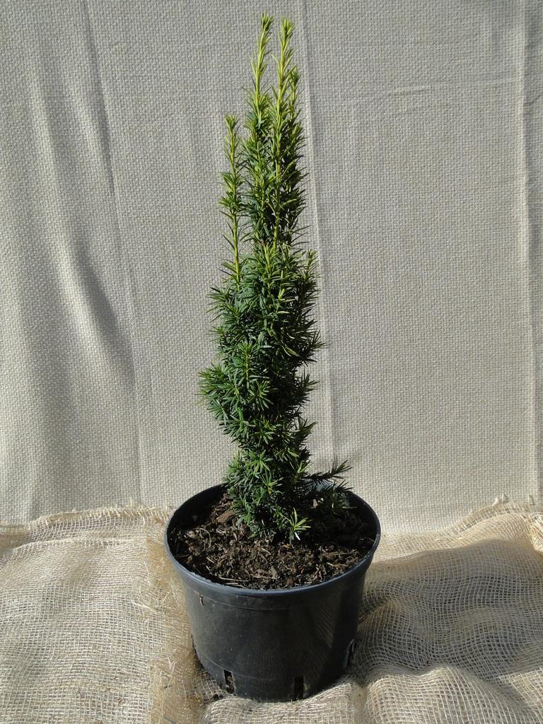 Cis pospolity 'Fastigiata Aureomarginata' C10 60-80 cm.jpeg