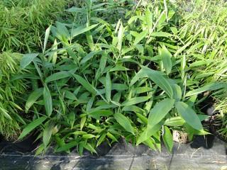 Bambusy na kwaterze.jpeg