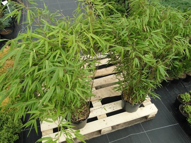 Bambus Fargesia 'Rufa' C5.jpeg