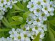Tawuła szara Kaziu - kwiatostan