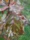 Dąb czerwony 'Roman Salamon' liść jesienią.jpeg