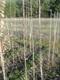 Dąb czerwony 'Roman Salamon' - młode drzewa potomne.jpeg